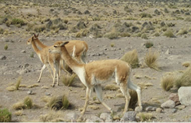 Vicuñas en la Reserva Nacional de Aguada Blanca